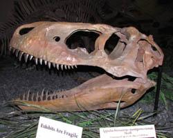 tyrannosaurid skull from Woodland Park, CO
