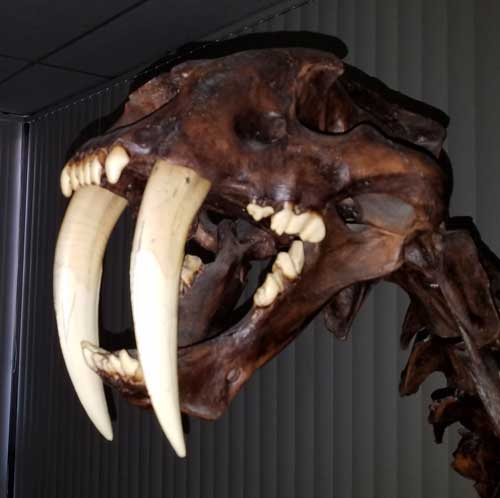 Saber Tooth Cat  From The Labrea Tar Pits