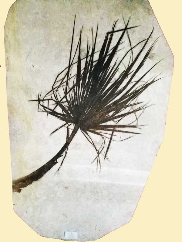 Palm Frond from the Green River Formation
