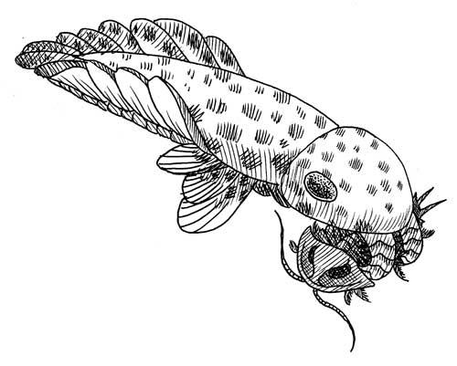 Anomalocaris Eating Trilobite
