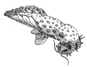 anomalocaris, Cambrian Period hunter