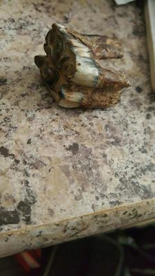 Fossil animal tooth