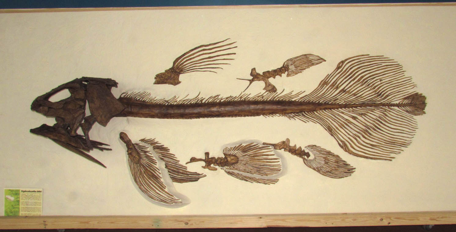 Fish Fossil from the Dinosaur Discovery Center, Woodland Park, Colorado. About 6 feet long.
