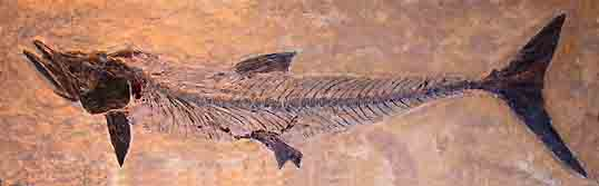 It may not look like much here but this fish fossil from the Denver Museum of Nature and Science is over 8 feet long.