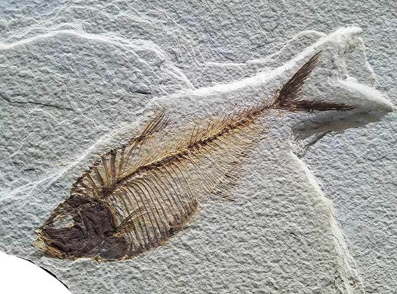 Knightia fish fossil from the Green River Formation