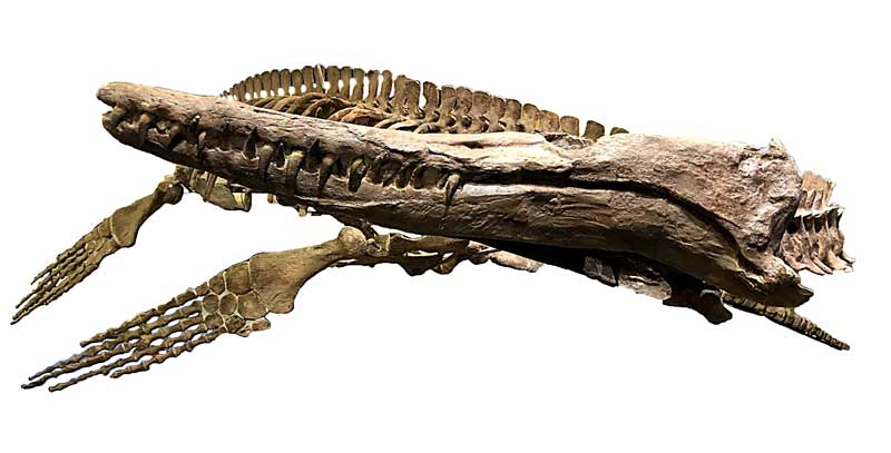 Complete Mosasaur Skeleton, Tucson