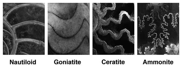 Suture Patterns of ammonites