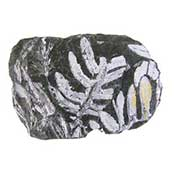 Coal Fern Fossil
