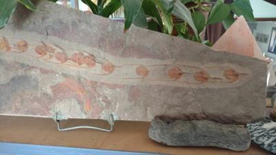 Lonchodomas Trilobites