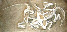 This is a famous fossil showing a protoceratops locked i.n mortal combat with a velociraptor.