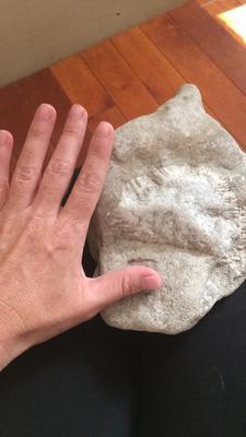 brachiopod?