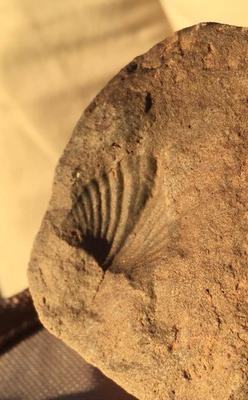 Valley of Fire Leaf Fossil