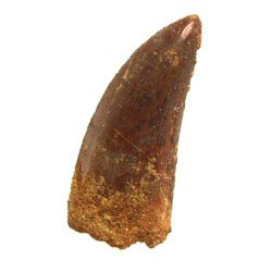 Charcharodon tooth