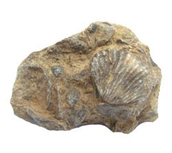 This is a Rhynchonella brachiopod in matrix.