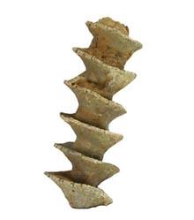 An archimedes bryozoan found in Indiana.