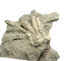 crinoid fossil from Indiana