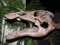This is the skull of a duckbill dinosaur or hadrasaur.