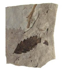 Carbonization Leaf Fossil From Florrissant, Colorado