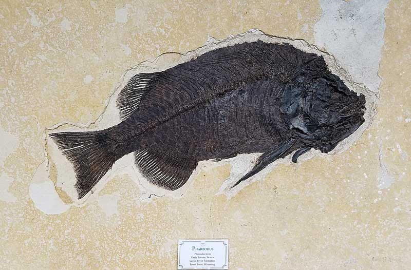 Phareodus fish fossil from the Green River Formation