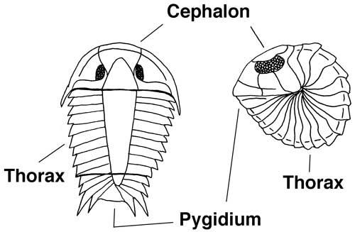 Trilobite Parts 2
