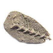 Archimedes Bryozoan Carboniferous
