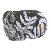 Coal Fern Fossil
