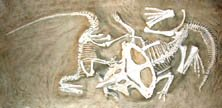 Velociraptor locked in mortal combat with a protoceratops.
