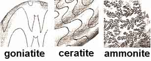 ammonite suture lines comparison