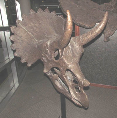 A triceratops skull on display at UCMP.