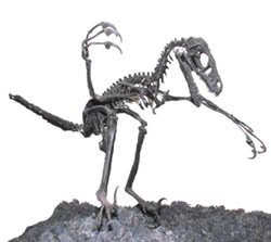 This cute little bag of bones is a velociraptor.
